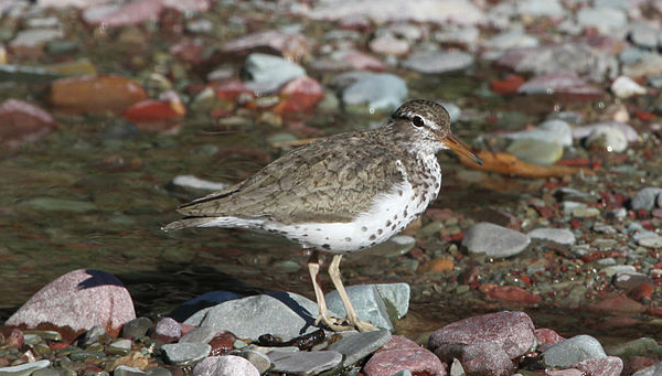 Spotted Sandpiper GlacierNPS via Wiki Commons