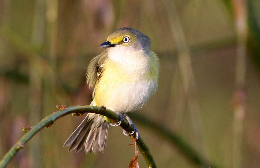 White-eyed vireo, photo by Bill Thompson, III