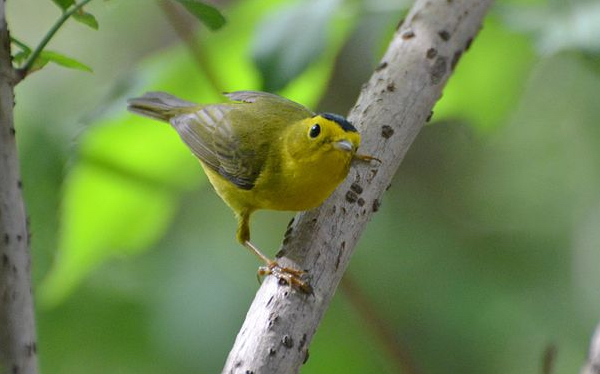 Wilson's warbler photo by Andy Reago & Chrissy McClarren via Wiki Commons