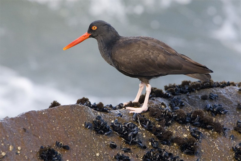A Black oystercatcher bird forages just north of Morro Rock, Morro Bay, CA. Photo by Michael L. Baird / Wikimedia.