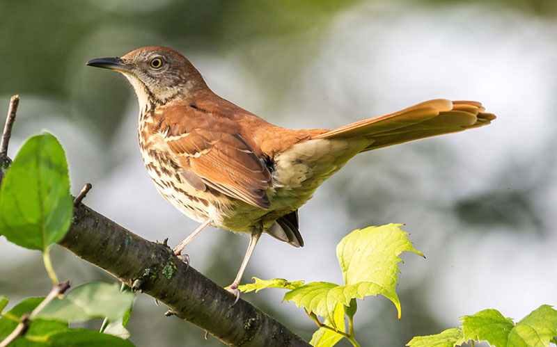 Brown thrasher photo by John Benson / Wikimedia.