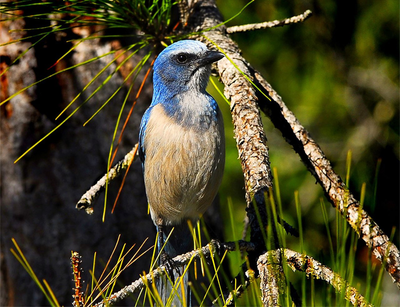 Florida scrub-jay in Port St. John, Florida. Photo by Andrea Westmoreland / Wikimedia Commons.