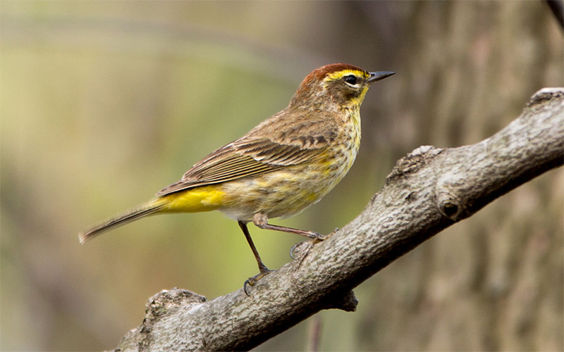 Palm warbler photo by V. Grigas / Wikimedia commons