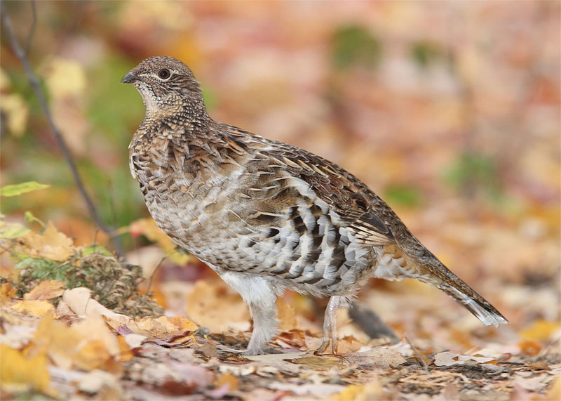 Ruffed grouse--the state bird of Pennsylvania. Photo by MDF / Wikimedia.