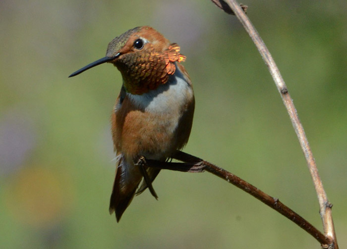 Rufous hummingbird photo by Connie Toops