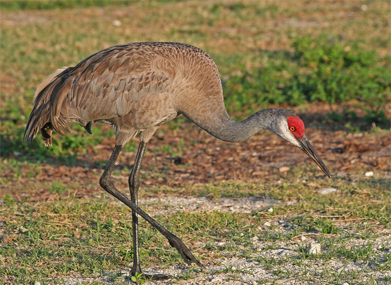 Sandhill crane. Photo by Joseph C. Boone / Wikimedia Commons