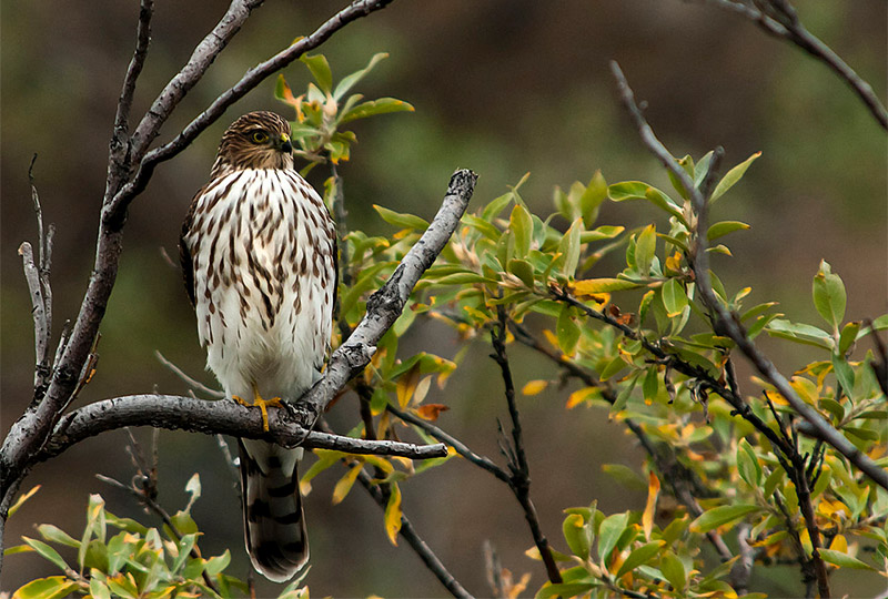 Sharp-shinned Hawk by Tim Rains / Wikimedia Commons