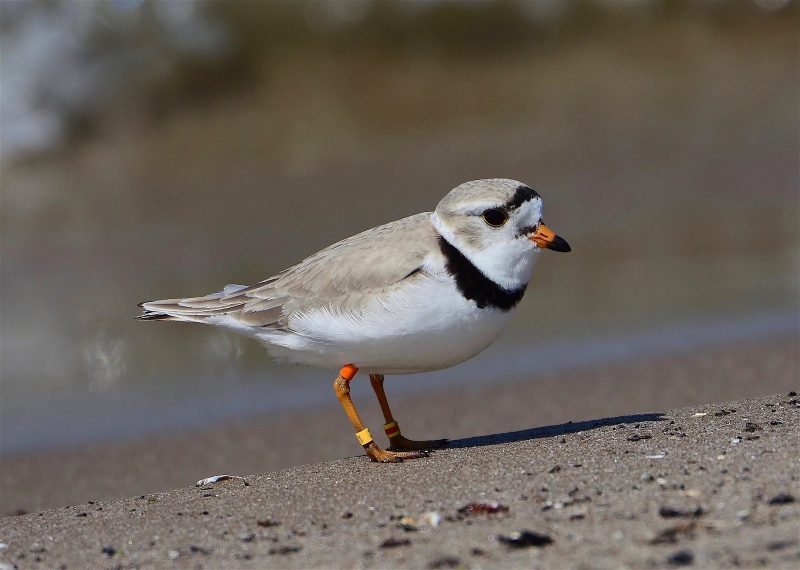 Piping Plover by Paul O'Toole