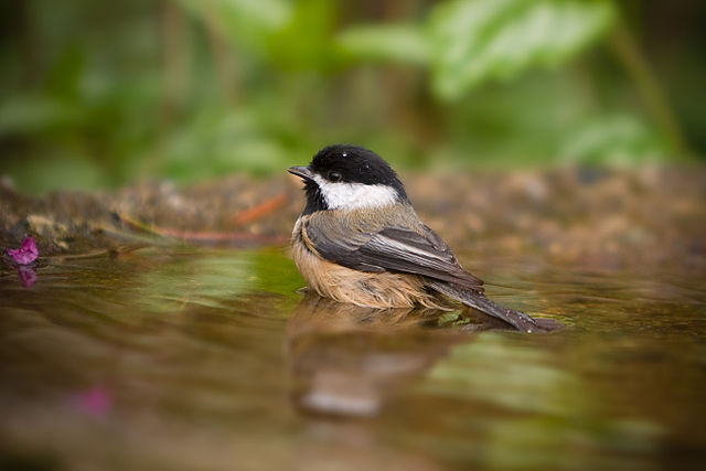 Some birdbaths are too deep for bathing by smaller birds like chickadees and warblers. Photo: Black-capped Chickadee by Kenny Louie / Creative Commons.