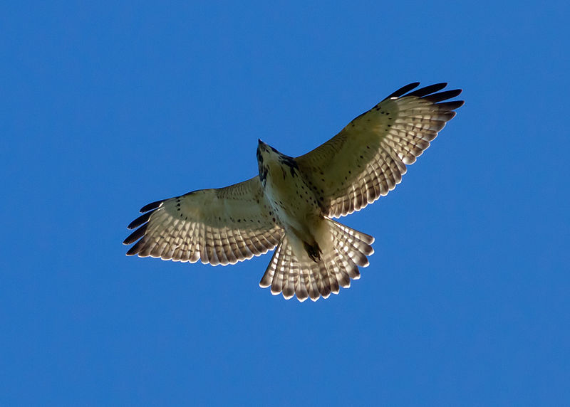 Juvenile broad-winged hawk, photo by Manjith Kainickara / Wikimedia