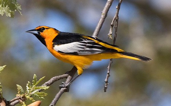 Bullock's Oriole Photo by Kevin Cole via Wiki Commons
