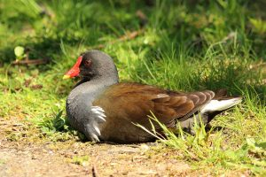 Common moorhen, photo by Charles J. Sharp / Wikimedia