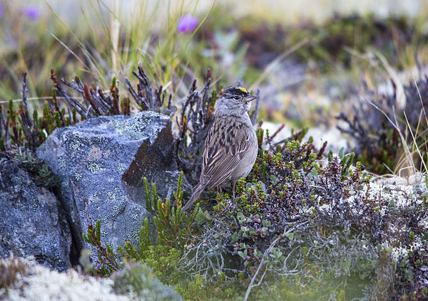Golden-crowned Sparrow Photo by National Park Service, Alaska Region