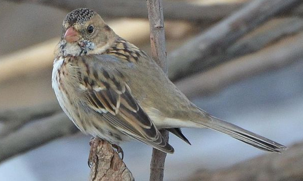 Harris's Sparrow Photo by Andy Reago & Chrissy McClarren via Wiki Commons