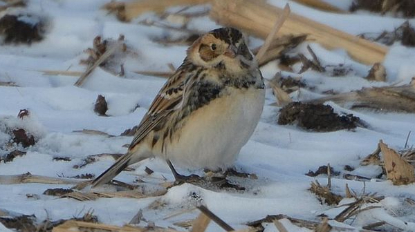 Lapland Longspur Photo by Andy Reago & Chrissy McClarren via Wikimedia Commons
