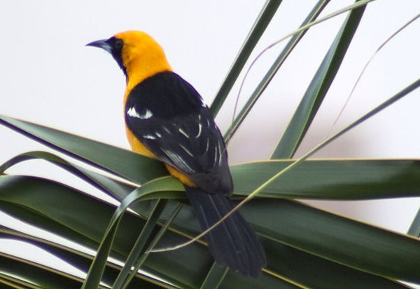 Hooded Oriole Photo by Tony Hisgett via Wiki Commons