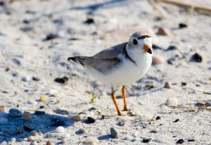 Piping plover, photo by ShutterGlow.com / Wikimedia