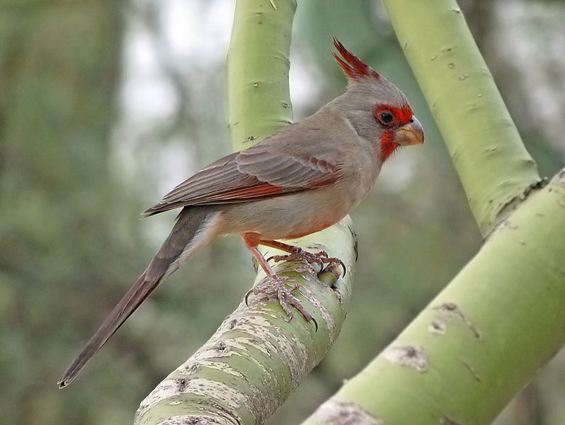 Pyrrhuloxia photo by SearchNet Media, Tuscon, AZ / Wikimedia Commons