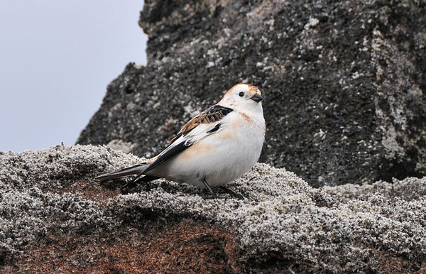 Snow Bunting Photo by Flamewavefires  via Wikimedia Commons