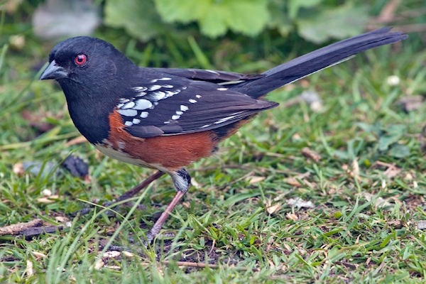 Spotted Towhee Photo by naturespicsonline.com via Wikimedia Commons