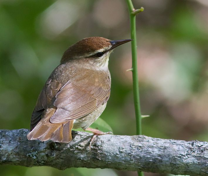 Swainson's warbler, photo by USFWS / Wikimedia