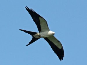Swallow-tailed kite photo by Dick Daniels / Wikimedia