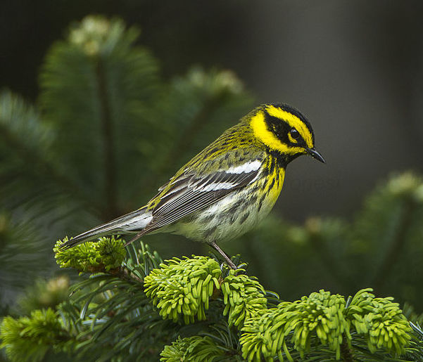 Townsend's Warbler Photo by Francesco Veronese via Wikimedia Commons