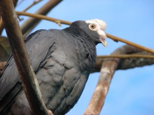 White-crowned pigeon photo by L.T. Shears / Wikimedia
