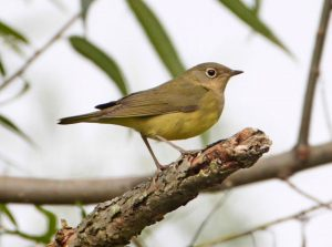 Connecticut warbler, photo by Matt Tillet / Wikimedia