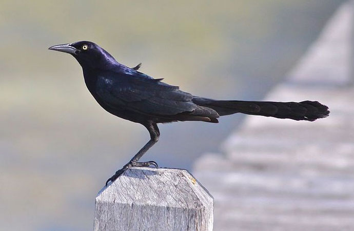 Great-tailed grackle photo by D. Faulder / Wikimedia Commons