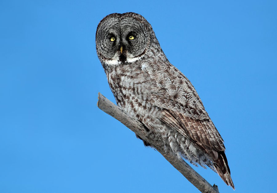 Great gray owl, photo by Cephas / Wikimedia