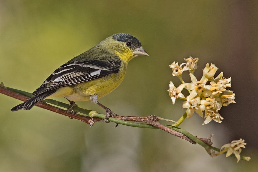 Lesser goldfinch photo by Alan D. Wilson / Wikimedia Commons