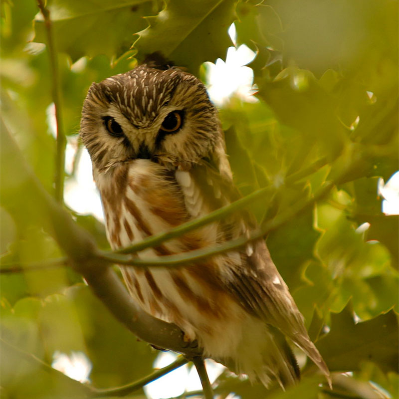 Northern saw-whet owl by Brendan Lally / Wikimedia