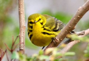 Prairie warbler by Bill Thompson, III