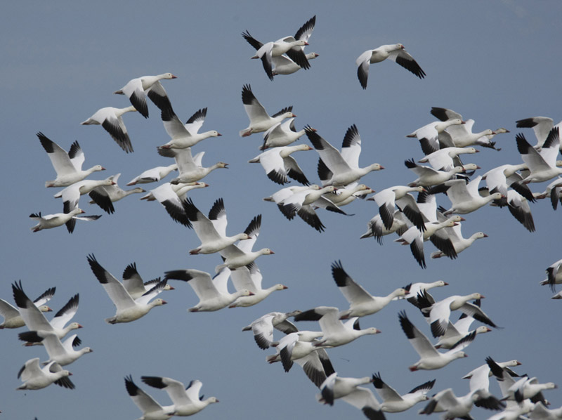 Snow geese take flight, beginning their 3,000-mile spring migration to the arctic breeding grounds of Russia's Wrangel Island. Photo by USFWS / Wikimedia commons.