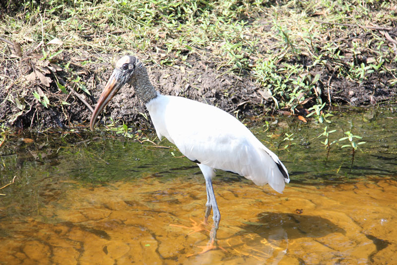 Wood stork by Billie Dodd