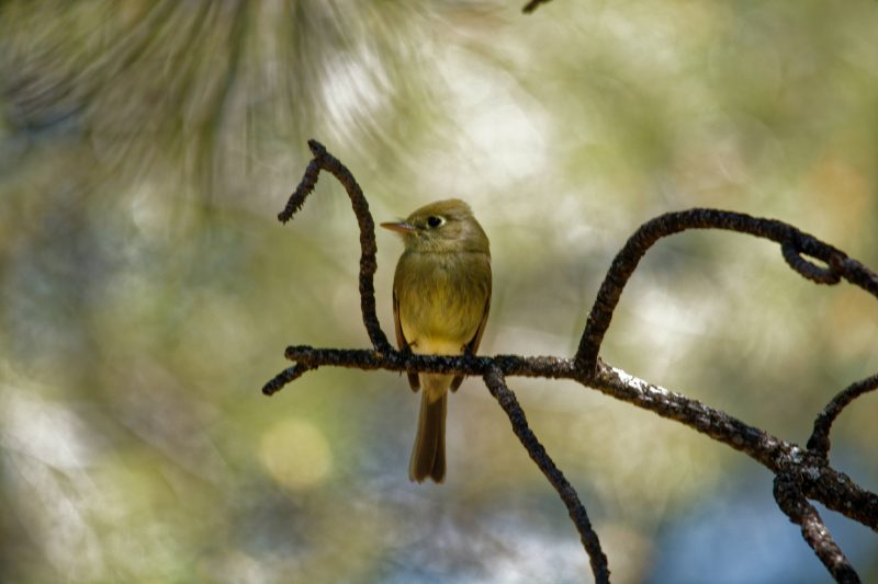 Ash-throated Flycatcher by Joseph Darsey