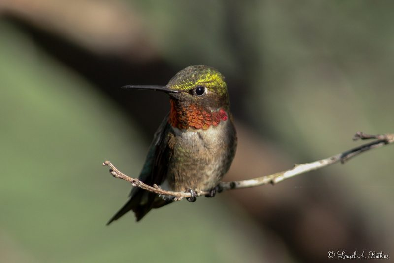 Ruby Throated Hummingbrd by Laurel Butkins
