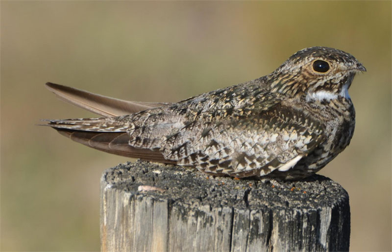 Common nighthawk photo by Andy Reago & Chrissy McClarren  / Wikimedia Commons