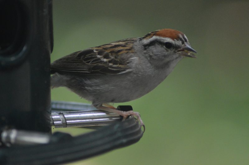 American Tree Sparrow by Garry Fisher