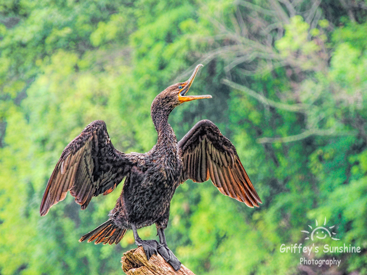 Double-breasted Cormorant by Griffey's Sunshine Photography