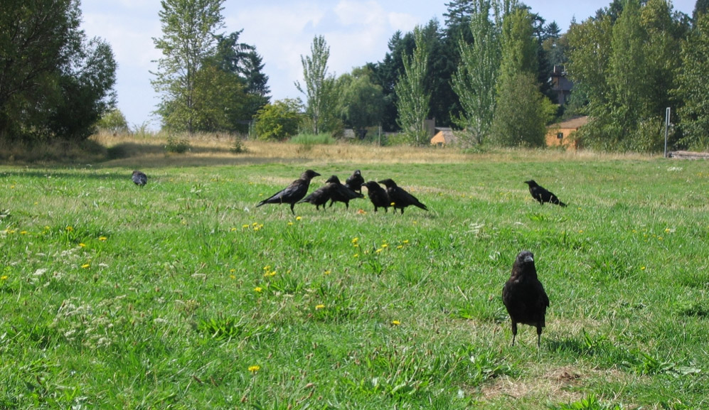 A congregation of crows. Photo by Tom Harpel from Seattle, Washington, United States / Wikimedia Commons.