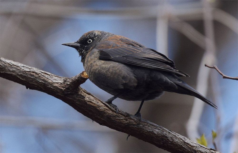Rusty blackbird. Photo by Andy Reago and Crissy McClarren / Wikimedia Commons.