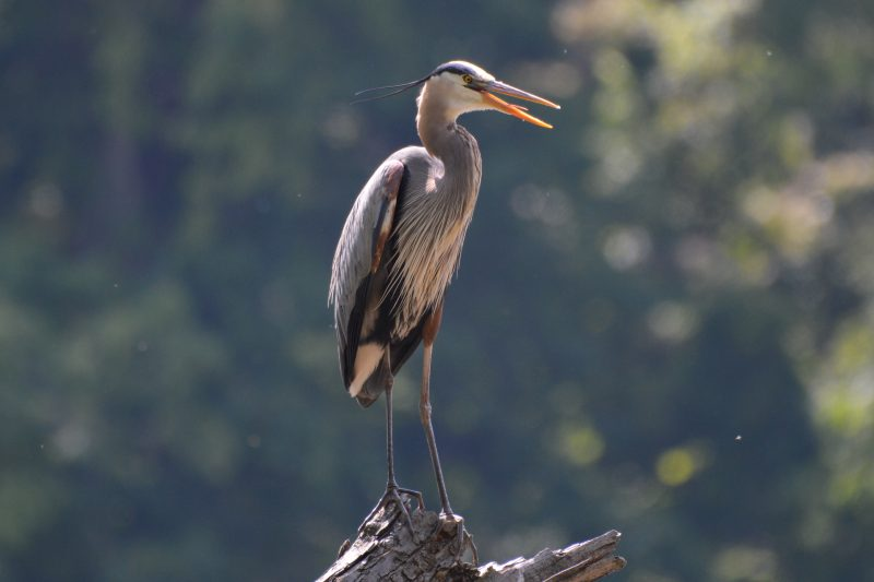 Blue Heron by Donald Naylor