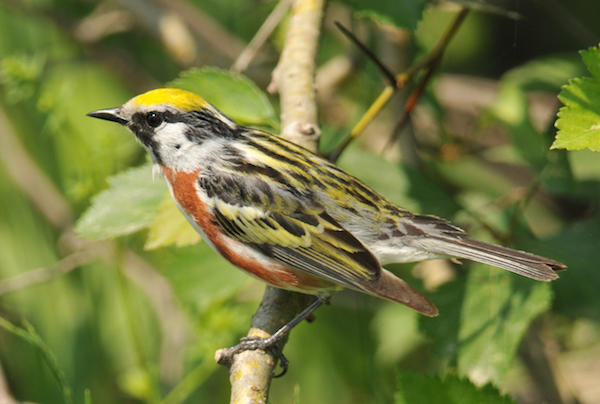 Chestnut-sided warbler, photo by Brian Henry