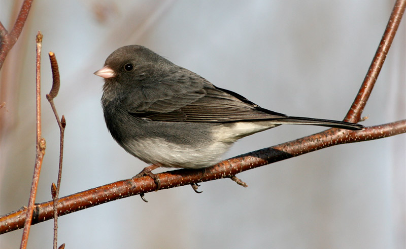 Dark-eyed Junco. Photo by Bill Thompson, III