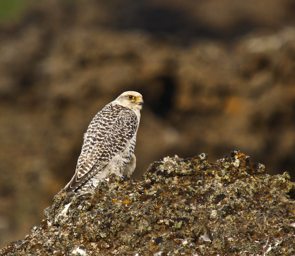 Gyrfalcon, photo by Ólafur Larsen courtesy of Wiki Commons.