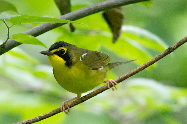 Kentucky warbler, photo by Andrew C courtesy of Wiki Commons