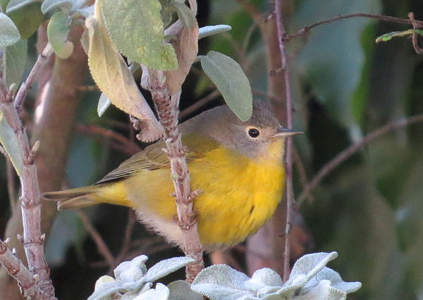 Nashville Warbler, photo by Kaaren Perry via Wiki Commons
