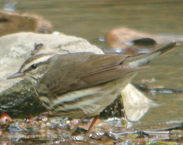 Northern waterthrush, photo by Andy Reago & Chrissy McClarren courtesy of Wiki Commons